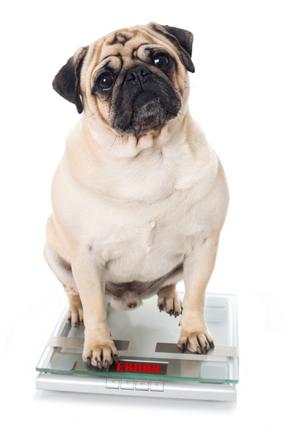 Übergewicht tritt immer häufiger bei unseren Hunden und Katzen auf und kann schwerwiegende Folgen für die Gesundheit haben.
